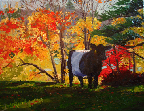 belted galloway cow fall